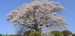 醍醐桜情報のイメージ