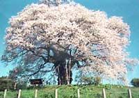 daigozakura